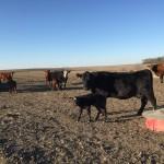 a sure sign of spring in nebraska…baby bovines (calves)